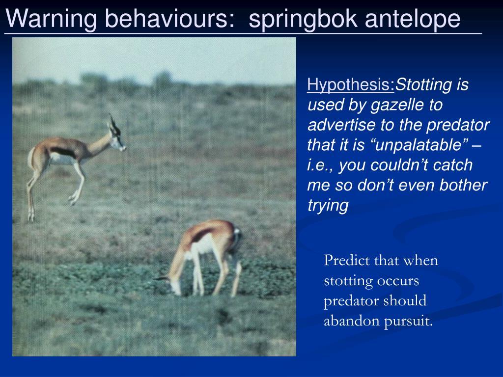 Warning behaviours:  springbok antelope