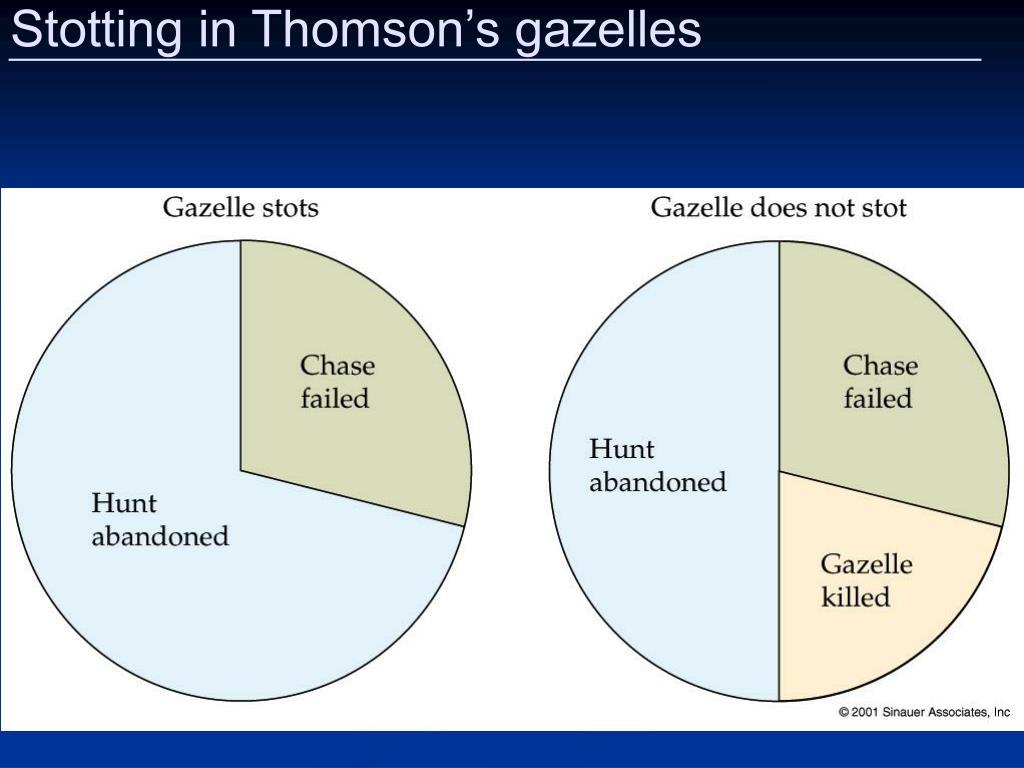 Stotting in Thomson's gazelles