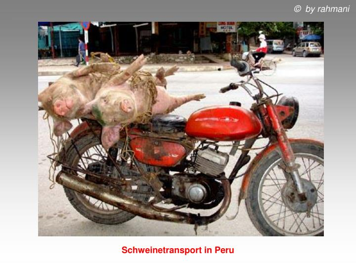 Schweinetransport in Peru