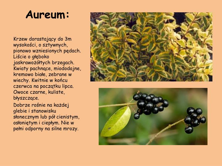 Aureum: