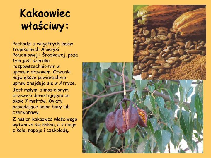 Kakaowiec właściwy: