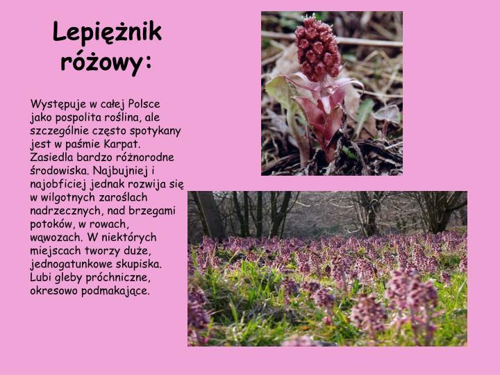 Lepiężnik różowy: