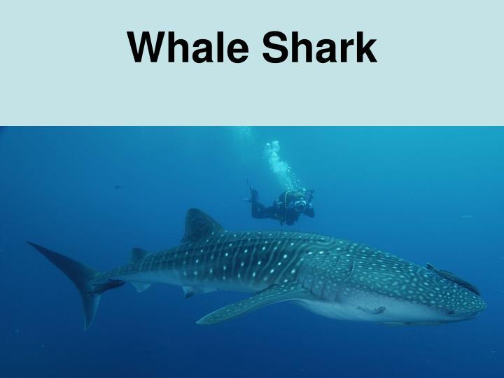 Ethical Debate: Captive whale sharks