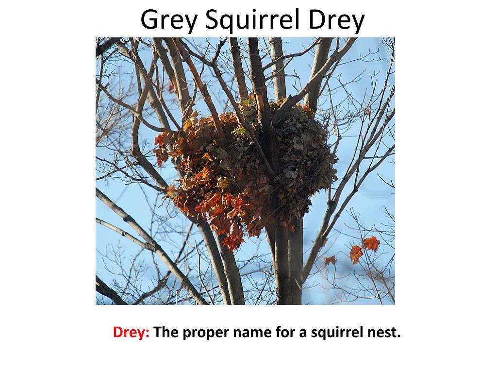 Grey Squirrel Drey
