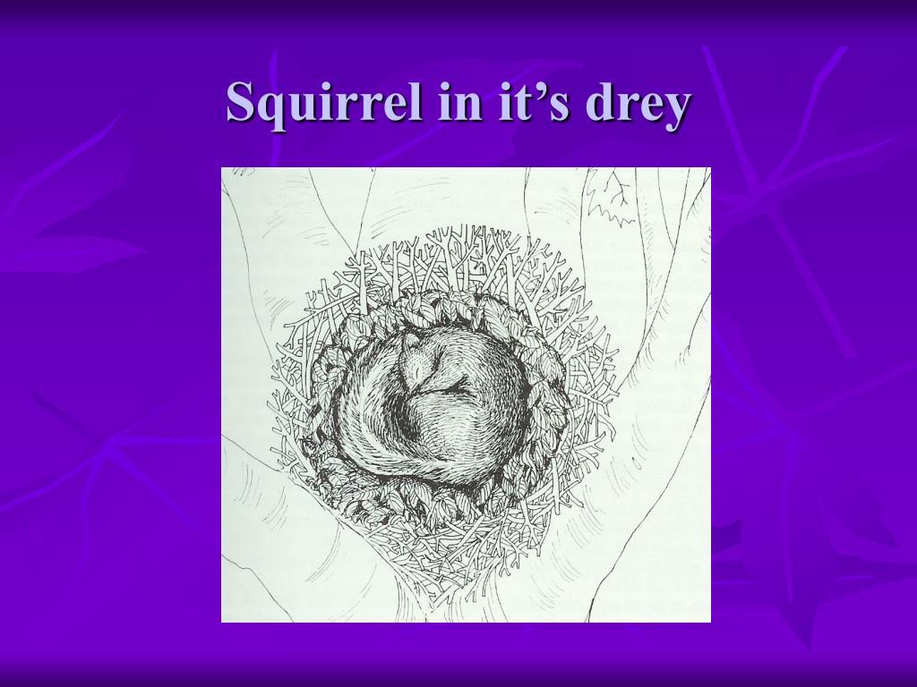 Squirrel in it's drey