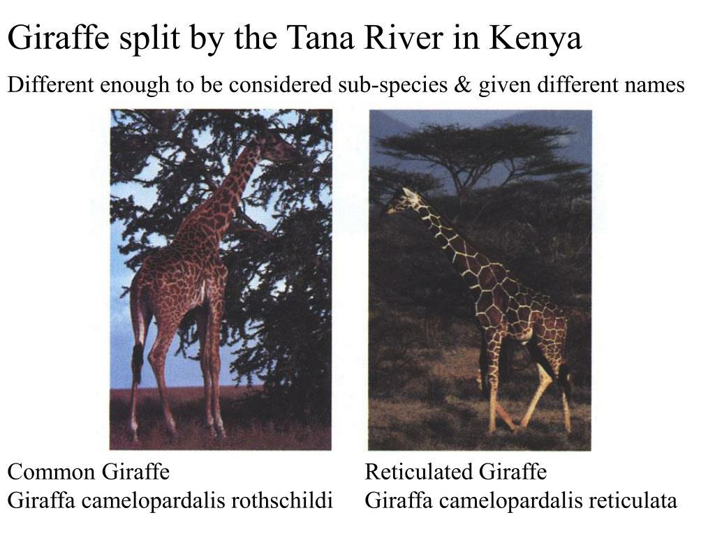 Giraffe split by the Tana River in Kenya