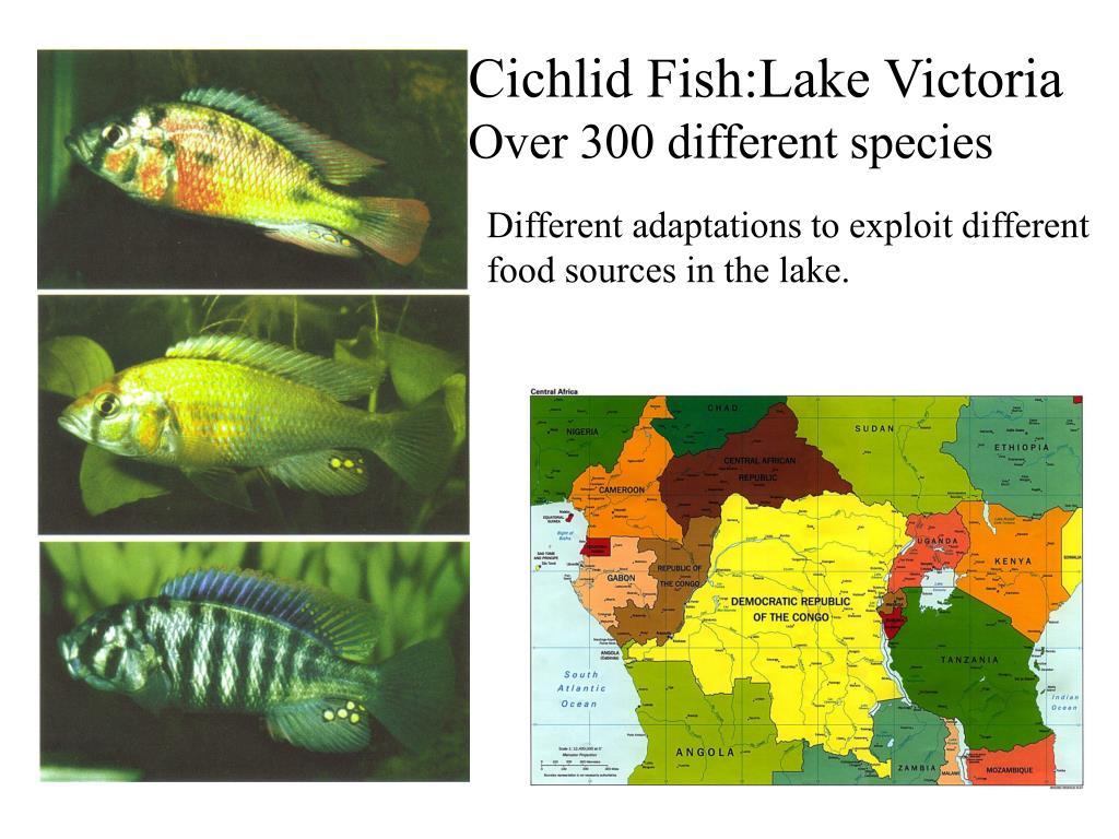 Cichlid Fish:Lake Victoria