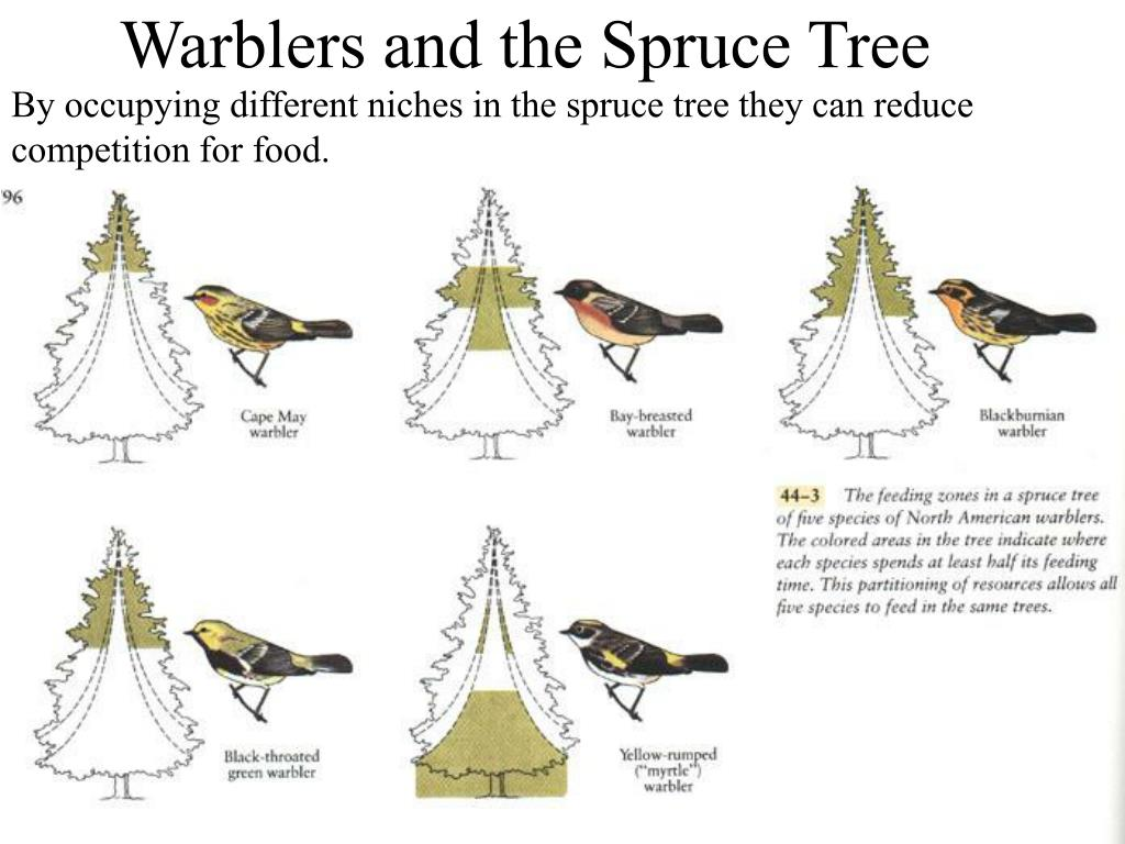 By occupying different niches in the spruce tree they can reduce competition for food.