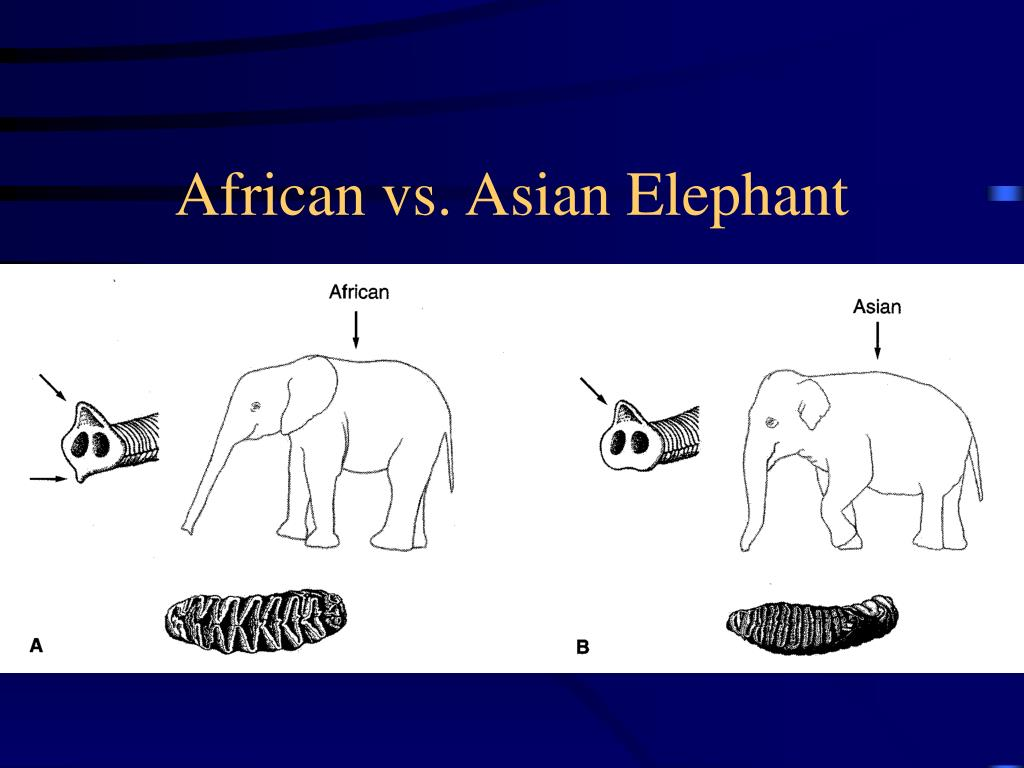 African vs. Asian Elephant