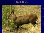 bush buck