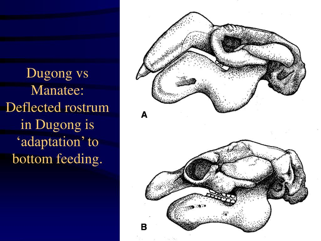 Dugong vs Manatee:  Deflected rostrum in Dugong is 'adaptation' to bottom feeding.