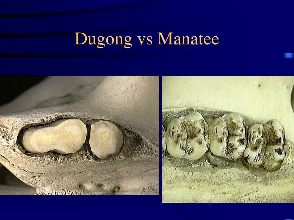 Dugong vs Manatee