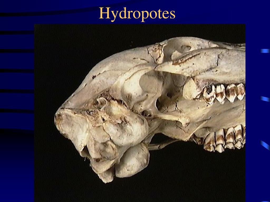 Hydropotes