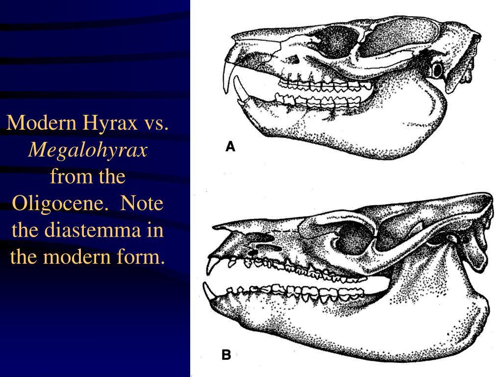 Modern Hyrax vs.