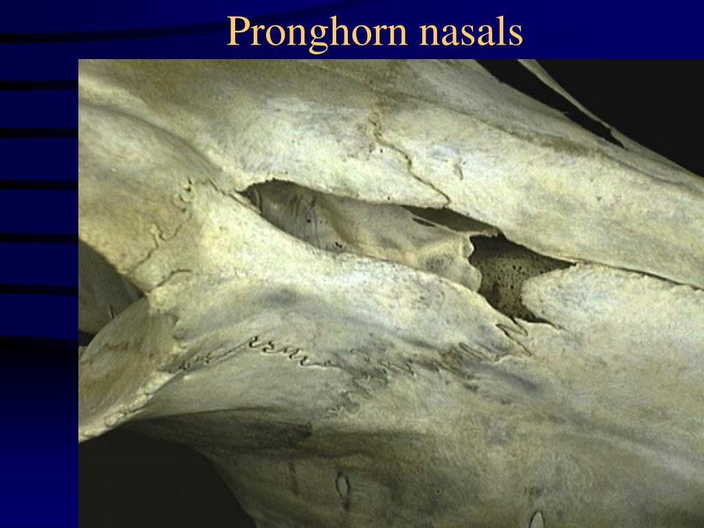 Pronghorn nasals