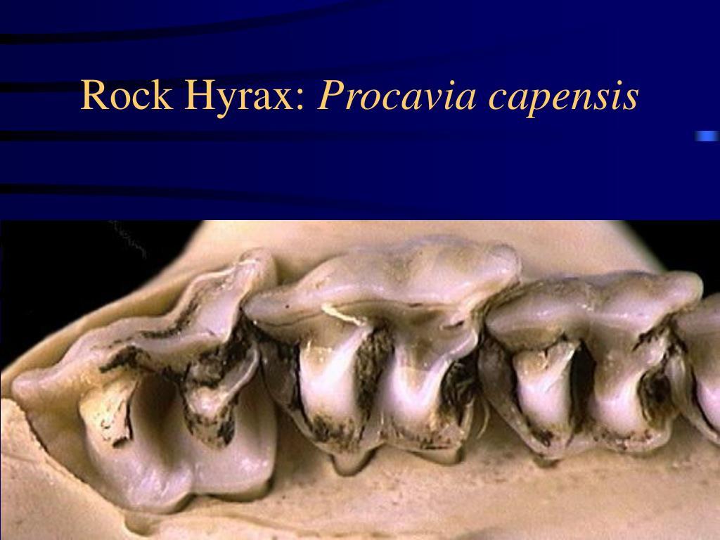 Rock Hyrax: