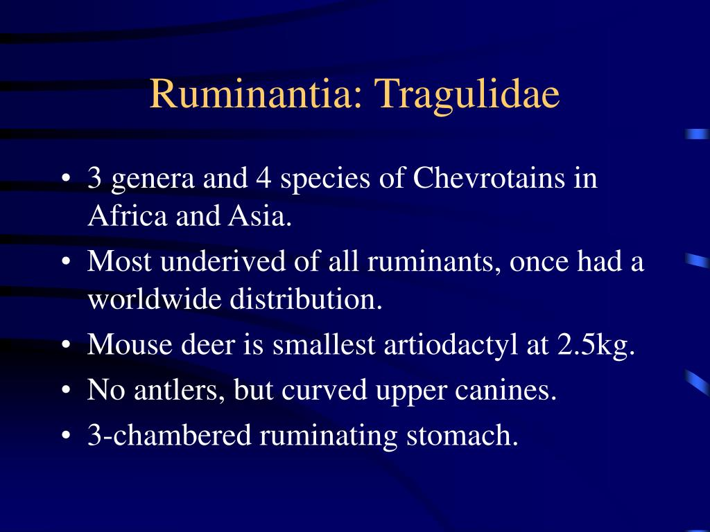 Ruminantia: Tragulidae