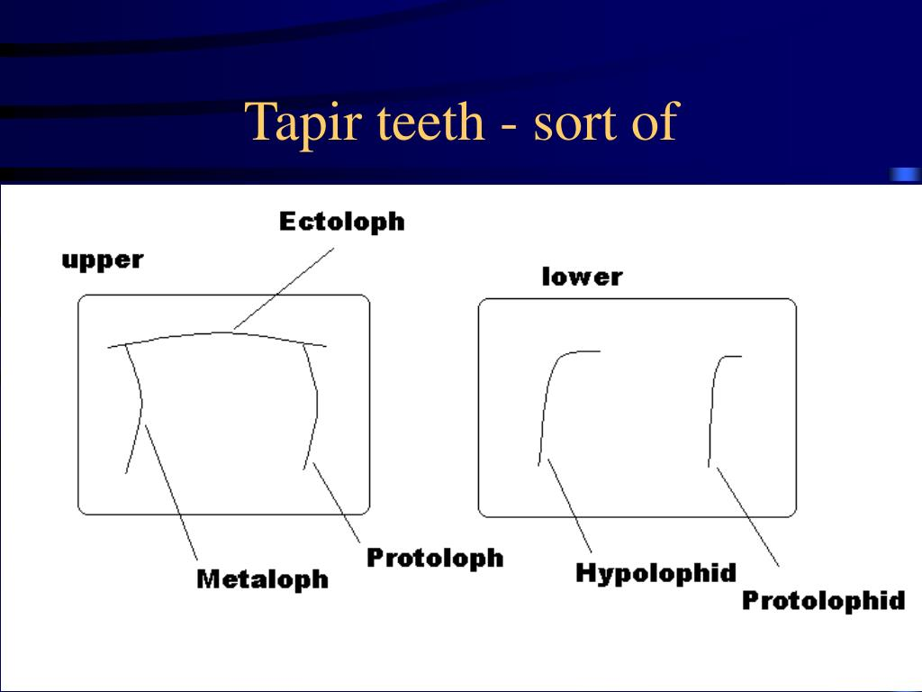Tapir teeth - sort of