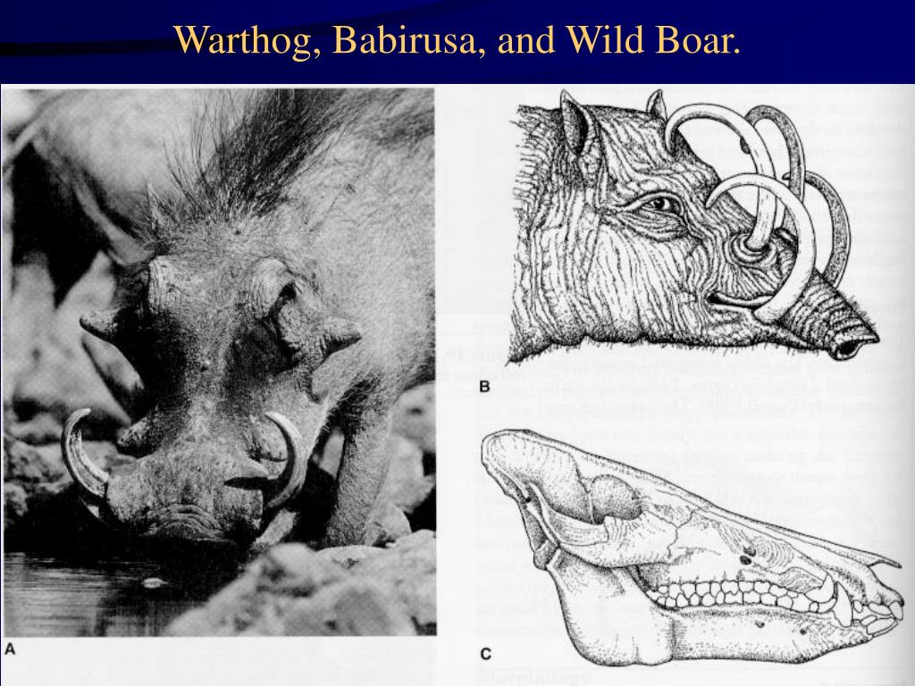 Warthog, Babirusa, and Wild Boar.
