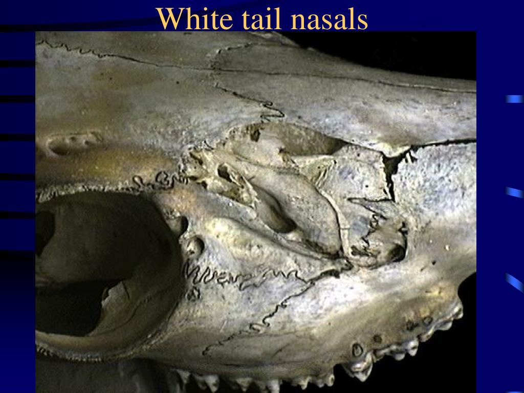White tail nasals