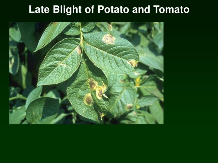 Late Blight of Potato and Tomato