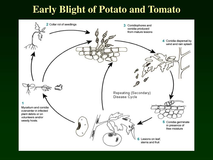 Early Blight of Potato and Tomato