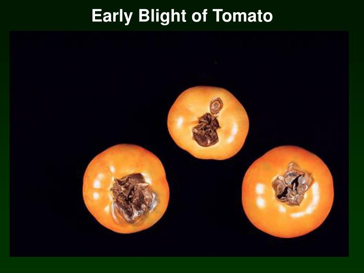 Early Blight of Tomato