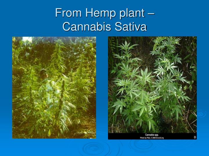 From Hemp plant –