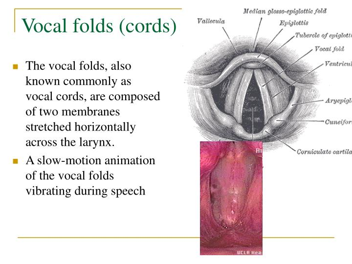 Vocal folds (cords)