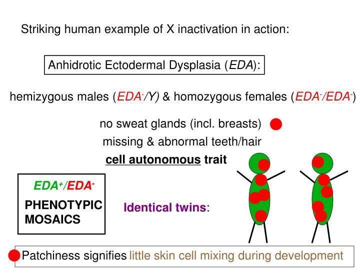 hemizygous males (