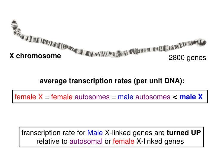 average transcription rates (per unit DNA):