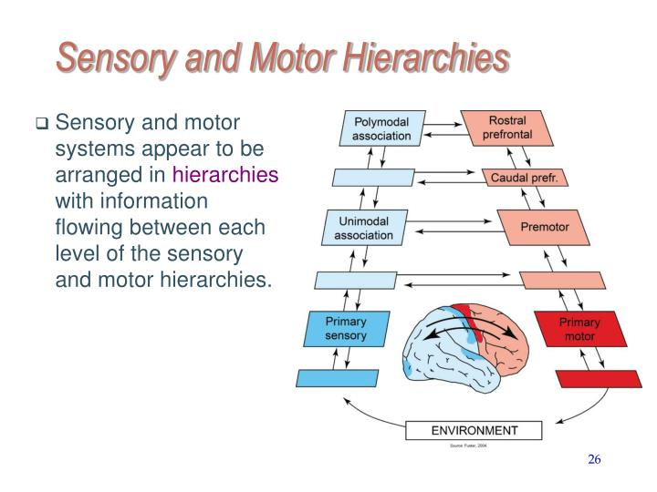 Sensory and Motor Hierarchies