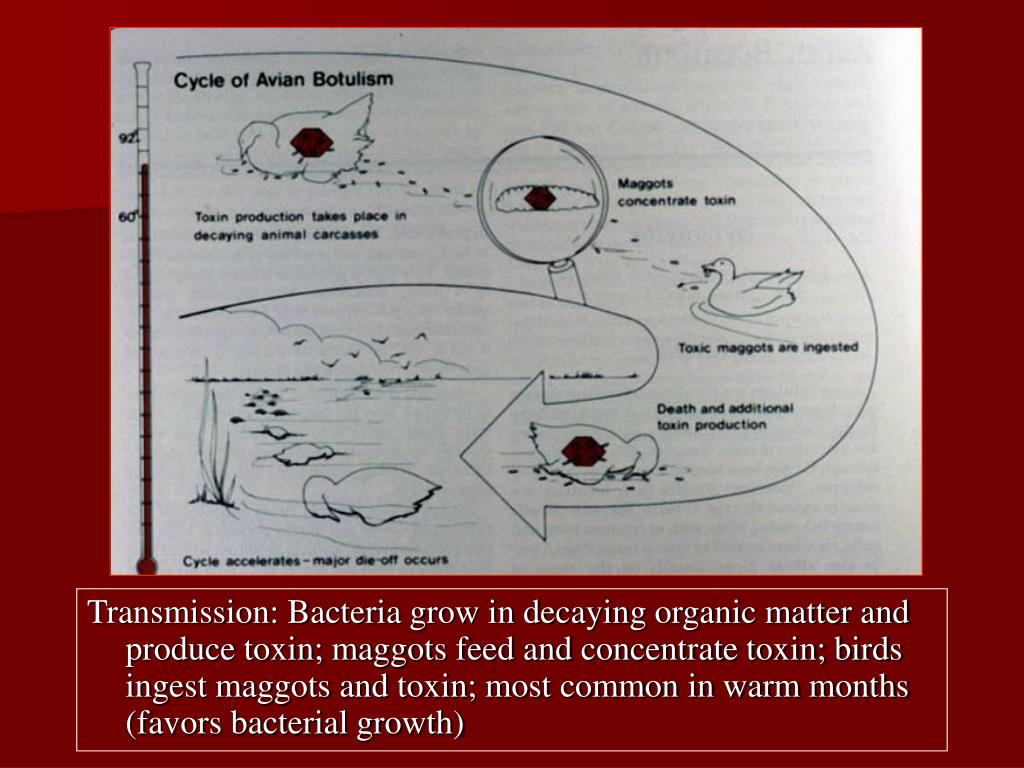 Transmission: Bacteria grow in decaying organic matter and produce toxin; maggots feed and concentrate toxin; birds ingest maggots and toxin; most common in warm months (favors bacterial growth)