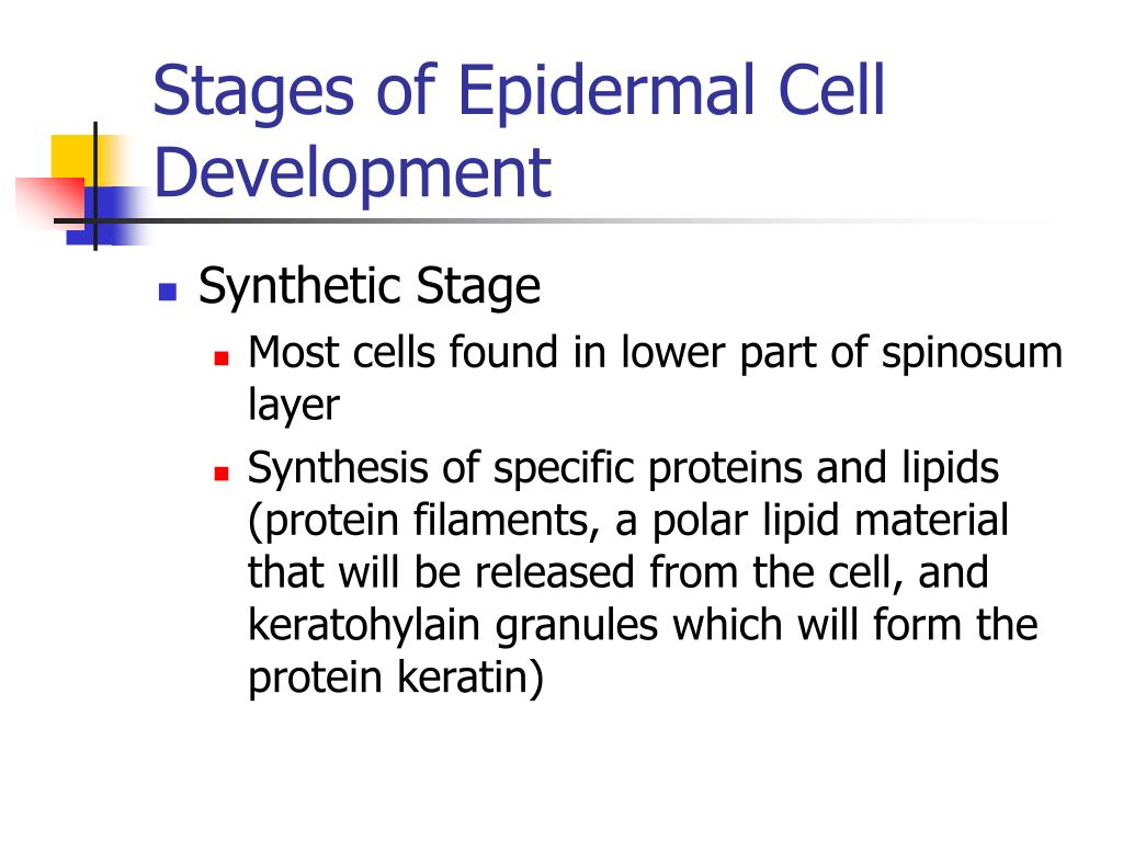 Stages of Epidermal Cell Development