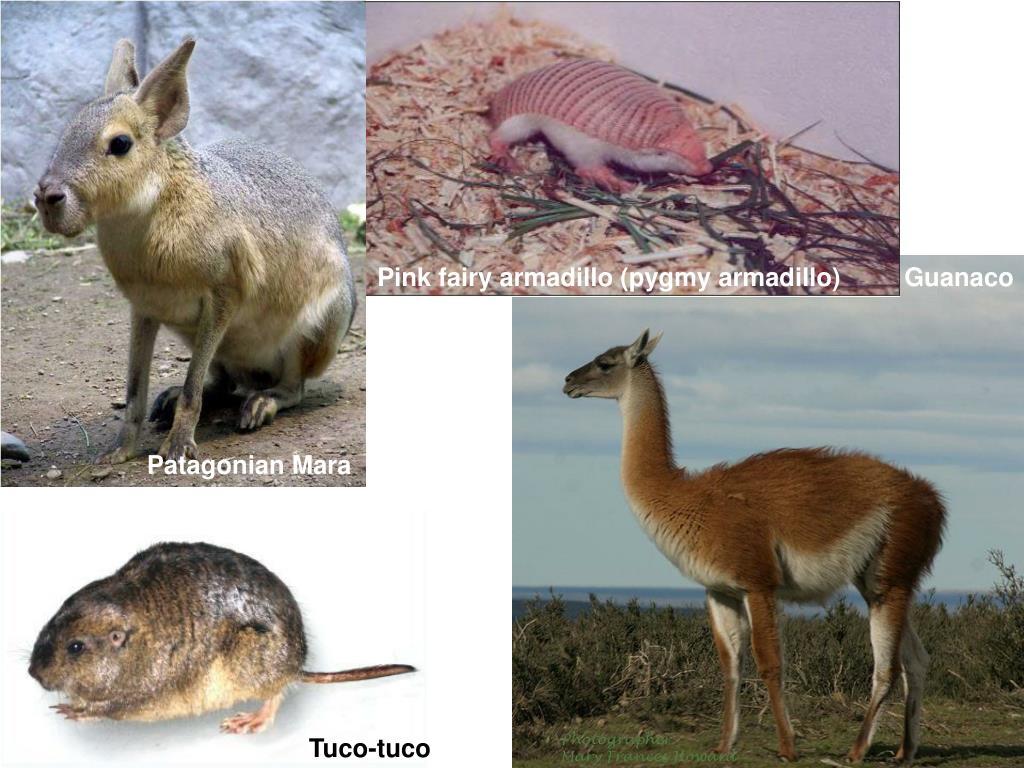 Pink fairy armadillo (pygmy armadillo)