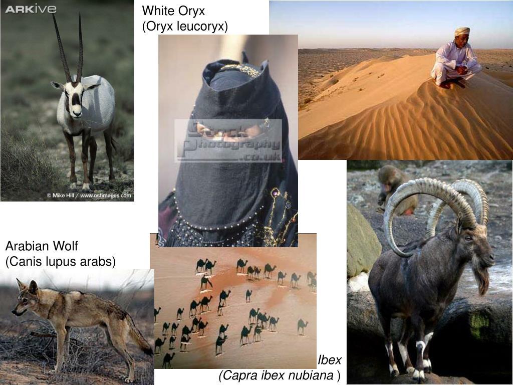 White Oryx (Oryx leucoryx)