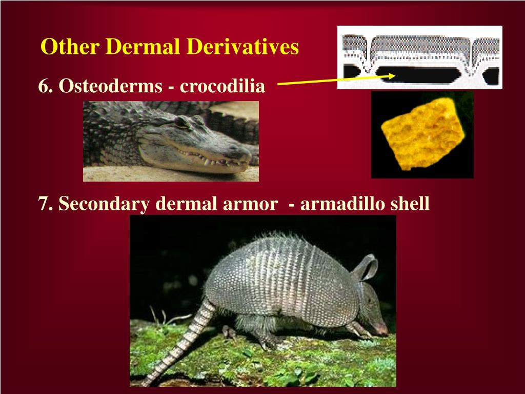 Other Dermal Derivatives