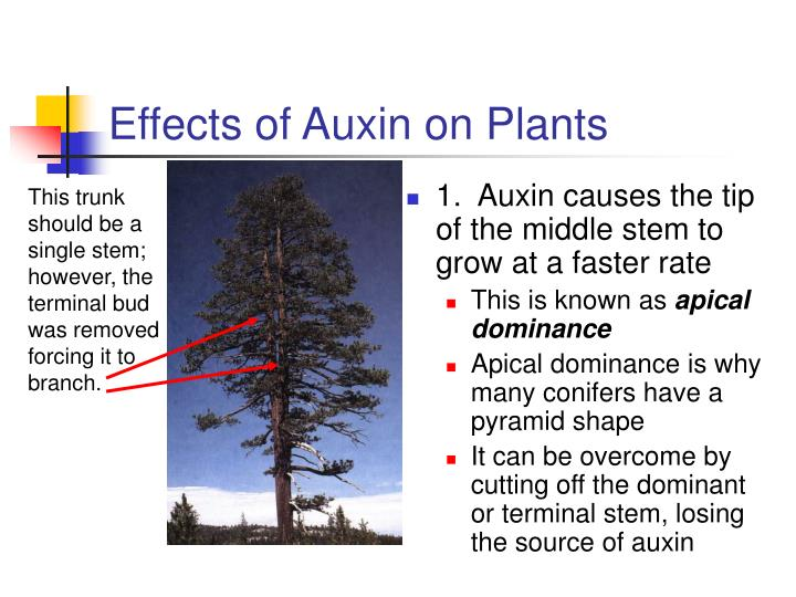 Effects of Auxin on Plants