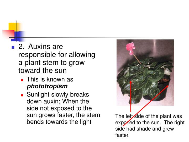 2.  Auxins are responsible for allowing a plant stem to grow toward the sun