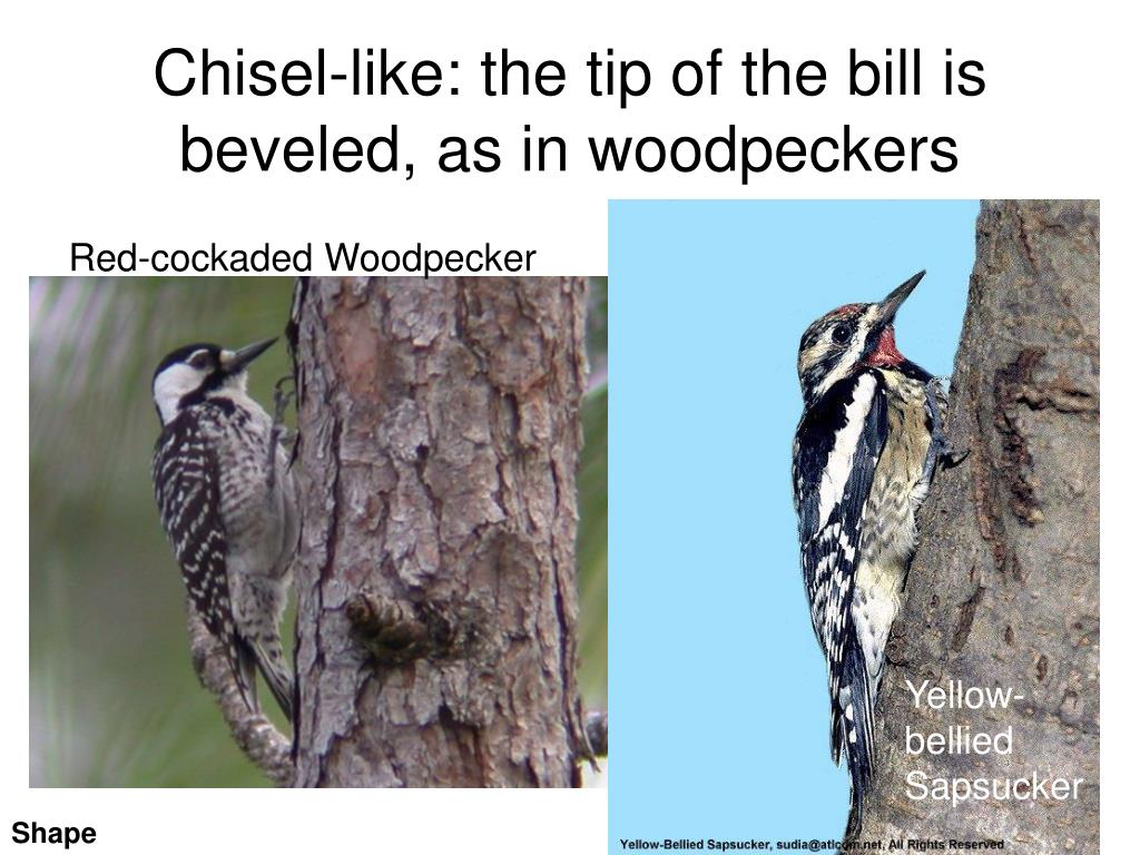 Chisel-like: the tip of the bill is beveled, as in woodpeckers