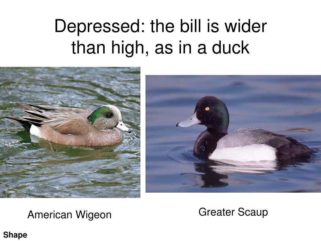 Depressed: the bill is wider