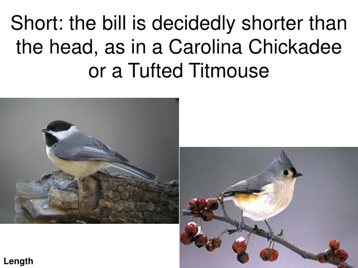 Short the bill is decidedly shorter than the head as in a carolina chickadee or a tufted titmouse