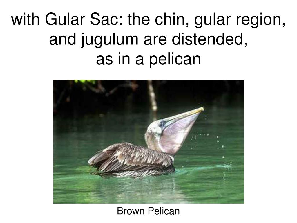 with Gular Sac: the chin, gular region, and jugulum are distended,                 as in a pelican