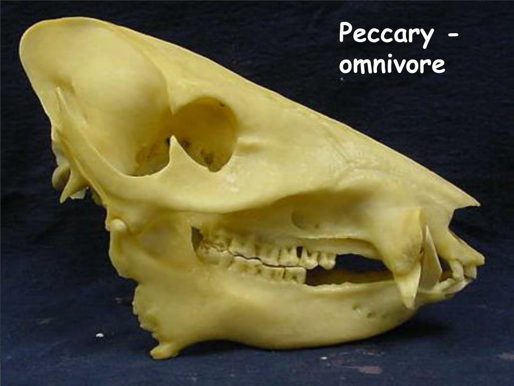 Peccary - omnivore