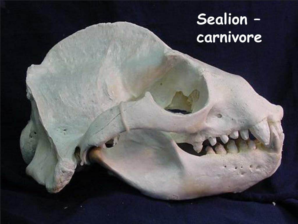 Sealion – carnivore