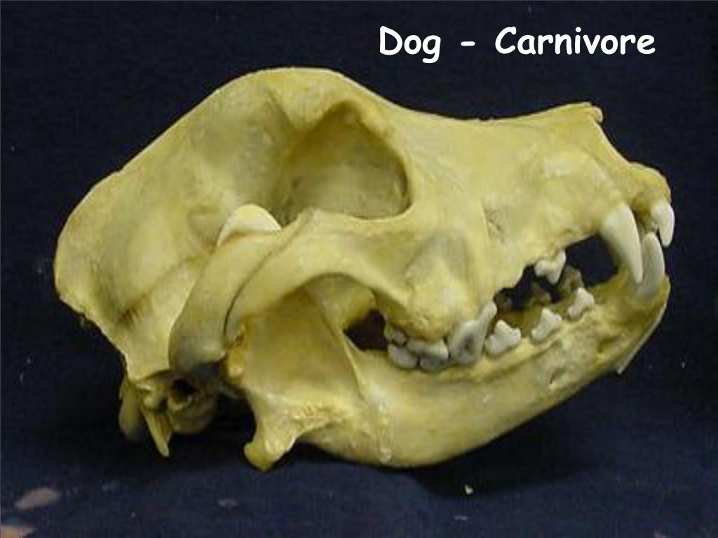 Dog - Carnivore