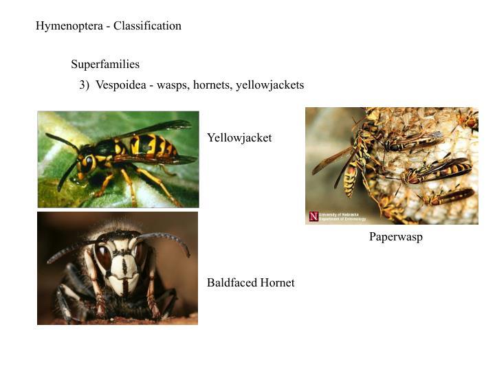 Hymenoptera - Classification