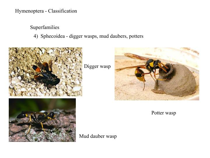 Hymenoptera - Classification