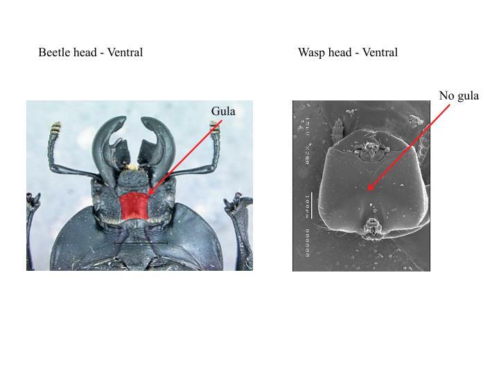 Beetle head - Ventral