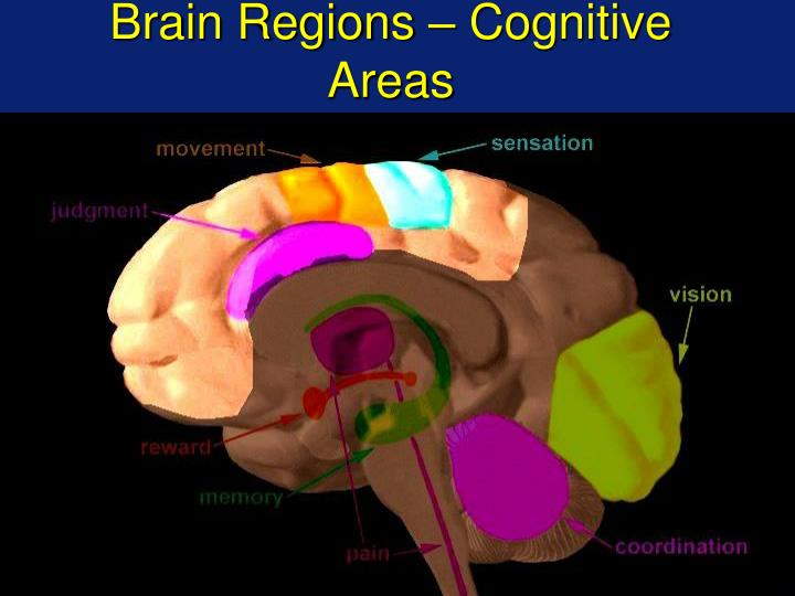 Brain Regions – Cognitive Areas